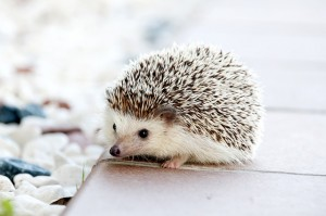 hedgehog1