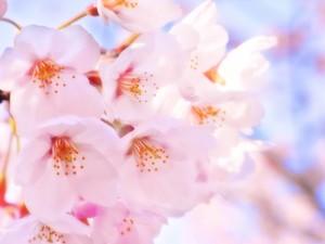 こんな桜の下でスイーツ食べたい!