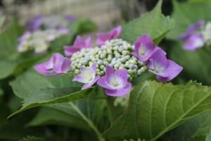 母の日に贈るアジサイの花、これはガクアジサイの一種です