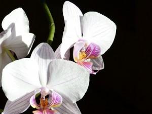 母の日にこんな胡蝶蘭を贈ってもいいですね!