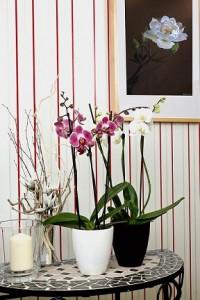 母の日に贈った胡蝶蘭、部屋に飾るのは本当に素敵!