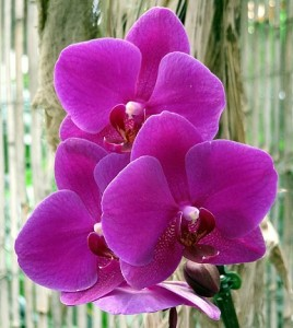 母の日に贈るならピンク色の胡蝶蘭もオススメ