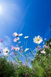 自分の庭やベランダでも種を取れば毎年こんな風景が?