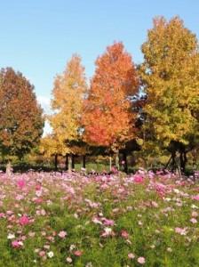 コスモスの花言葉はコスモス自体だけではなく、色にもあります