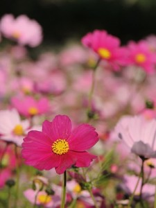 コスモスの花言葉は色々あるので要チェック!