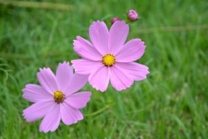 コスモスは色々な色があるので種を蒔いたら咲くまで色はお楽しみ