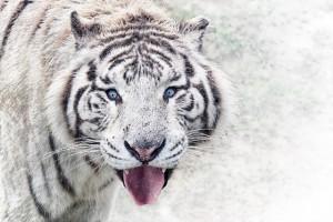 ニフレルのホワイトタイガーもこんな表情を見せてくれるかも?
