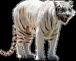 ニフレルのホワイトタイガーの立った姿は是非自分の目で確かめて!