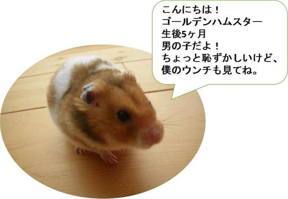 ハムスター 紹介