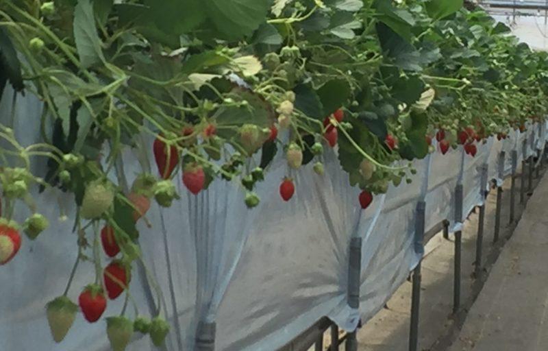 イチゴ狩り 高設