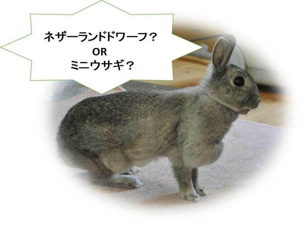 ミニウサギ ネザーランドドワーフ