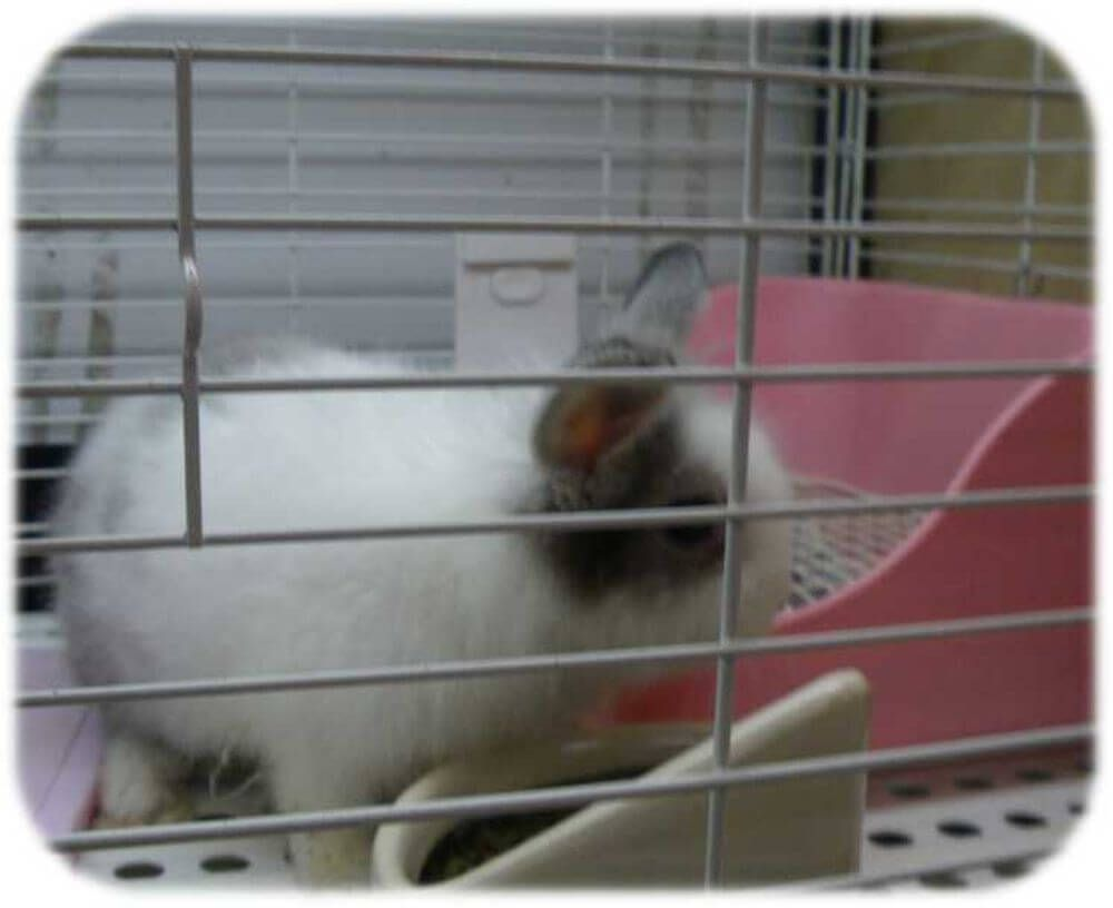 ミニウサギ ペットショップ 販売